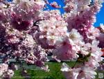 Kirschblüte ► Willy Brandt Platz ► D-90402 Nürnberg ►